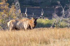 Elk bull bugling to warn off intruders