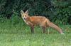 Foxy Long Tail