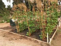 Plot 80 Italian green beans Sept 7th 2020