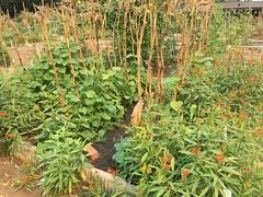 Plot 41 Pickling cucumbers milkweed Set 7th 2020