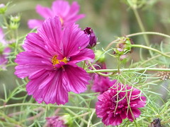 A most lovely color of a double ruffled variety of Cosmos!