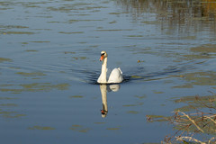 Photo of Mute swan (Cygnus olor) swimming fast