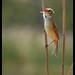 Australian Reed Warbler: Full Cry