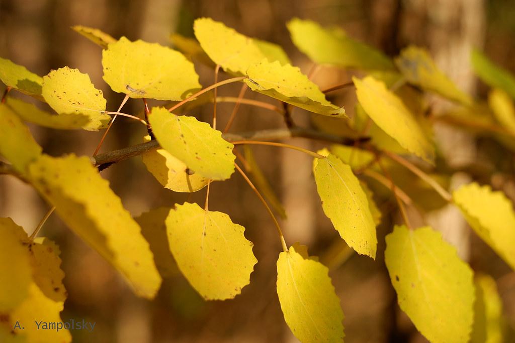 фото: Листья ольхи
