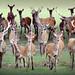 Deer Choir