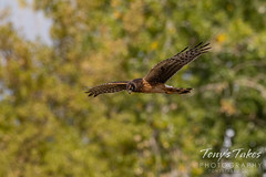 Harrier hawk looking for a meal
