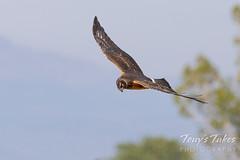 Harrier hawk flyby