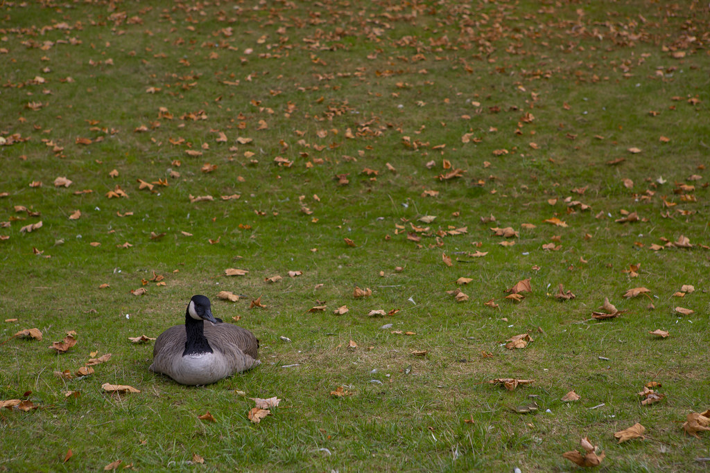 Canada Goose, English Bay, Vancouver  September 2020