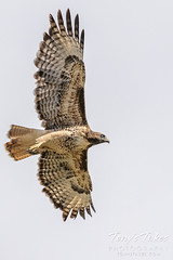 Red tailed hawk takes flight - 5 of 6