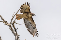 Red tailed hawk takes flight - 3 of 6