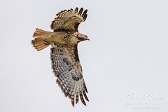 Red tailed hawk takes flight - 6 of 6