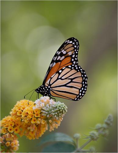 Monarch Just a Sip by Christine Dewey - Class B Digital Award - Sept 2020