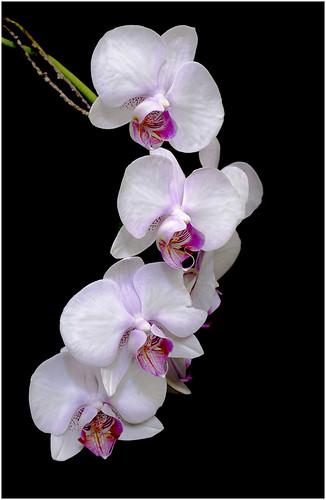 White Beauty by Joan Trushin - Class B Digital HM - Sept 2020