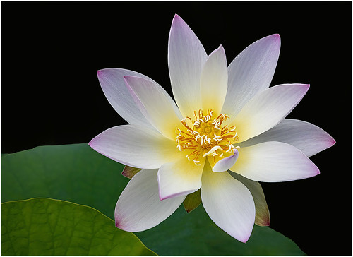 Delicate Lotus by Barbara Dunn - Class A Digital HM - Sept 2020