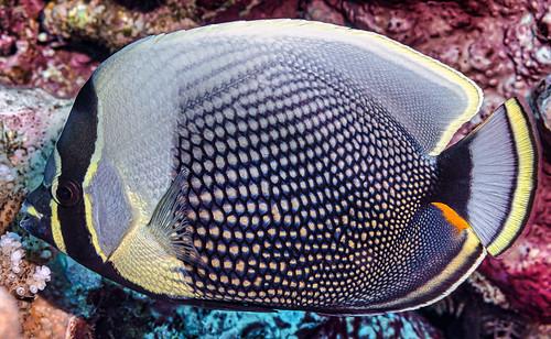 Reticulated butterflyfish - Chaetodon reticulatus