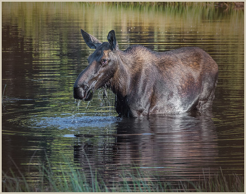 Moose at Sprague Lake by Marcia Nye - Class A Digital Award - Sept 2020