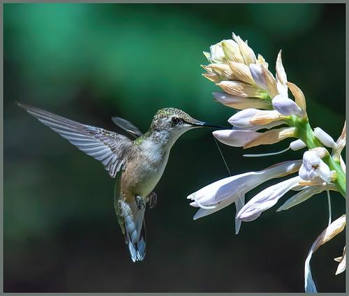 Hummingbird Feeding by Marcia Nye - Class A Digital HM - Sept 2020