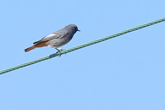 Photo of Black Redstart-DSC00514-001