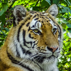 Photo of Tiger Tiger