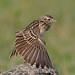An Oriental Skylark Stretching its wings