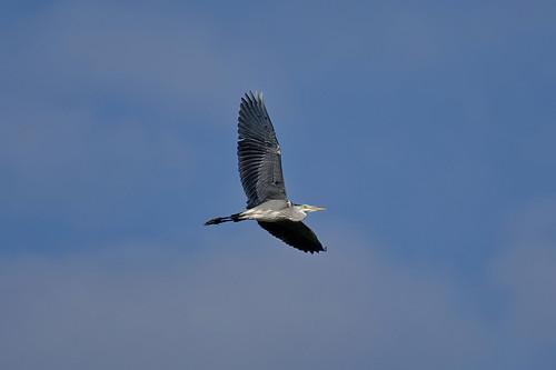 Серая цапля, Ardea cinerea cinerea, Grey Heron