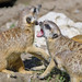 Fighting meerkats I