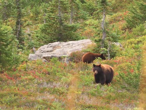Paradise Bears 2020