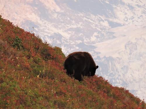 Mom bear mountain behind