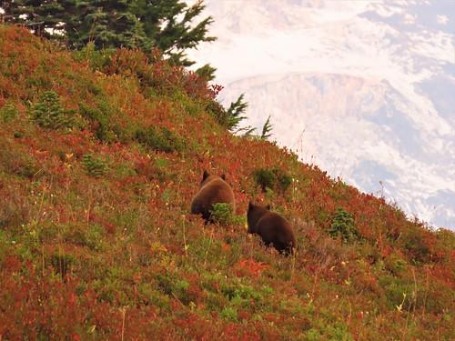 Round Rumps of Twin Cinnamon bears Paradise 2020