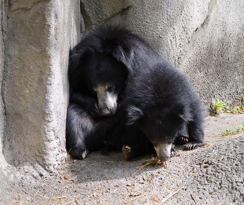 Cleveland Metroparks Zoo 09-06-2019 - Sloth Bear 6