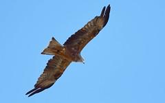 DSC_8602 Rode Wouw : Milan royal : Milvus milvus : Rotmilan : Red Kite