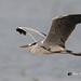 A Grey Heron in Lazy Flight