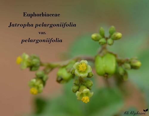 Jatropha pelargoniifolia var. pelargoniifolia
