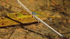 Male Eastern Billabongfly