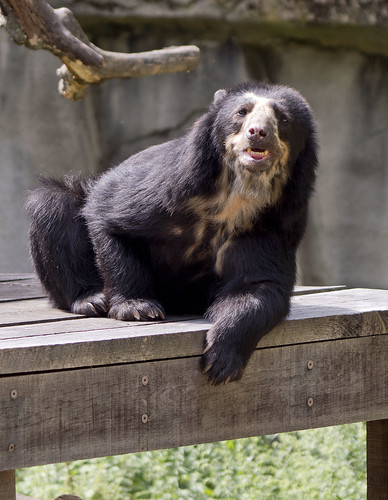 Cleveland Metroparks Zoo 09-06-2019 - Spectacled Bear 6