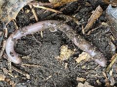 Invasive Earthworm, Minnesota