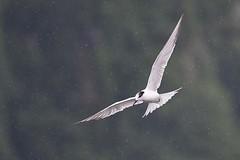 hns_1826-dougalls-stern-sterne-de-dougall-sterna-dougallii-rosen-seeschwalbe-roseate-tern