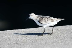 hns_1581-drieteenstrandloper-becasseau-sanderling-calidris-alba-sanderling-sanderling