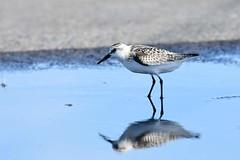 hns_1574-drieteenstrandloper-becasseau-sanderling-calidris-alba-sanderling-sanderling
