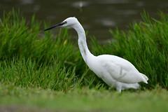 hns_1846-kleine-zilverreiger-aigrette-garzette-egretta-garzetta-seidenreiher-little-egret