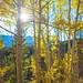 Aspen Tree Foliage at Boreas Pass