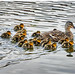 How many ducklings for this proud mum?