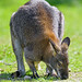 Kangaroo sniffing the grass