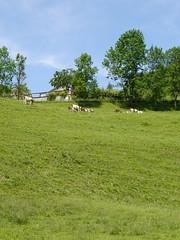 Cattle @ Nâves-Parmelan