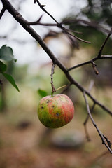 Apple hanging on a branch closeup.