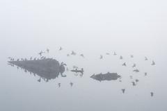 20201003 Oak Bay Fog Black Turnstones