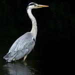Grey Heron on the River Ebw