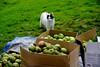 Appels- en perenpluk 2020