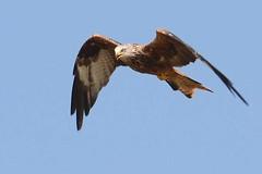 hns_8029-rode-wouw-milan-royal-milvus-milvus-rotmilan-red-kite