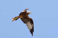 hns_8042-rode-wouw-milan-royal-milvus-milvus-rotmilan-red-kite